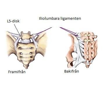 Iliolumbara ligamenten