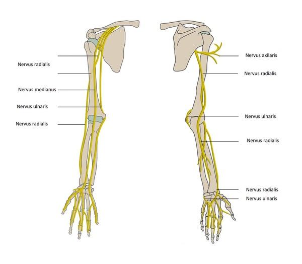 Domningar i händerna anatomi